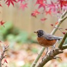 Robin in maple