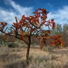 Red Cholla