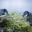 Care of each other (Blue tit)