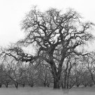 California Oak, Ground Fog, Sonoma, CA c. 1987