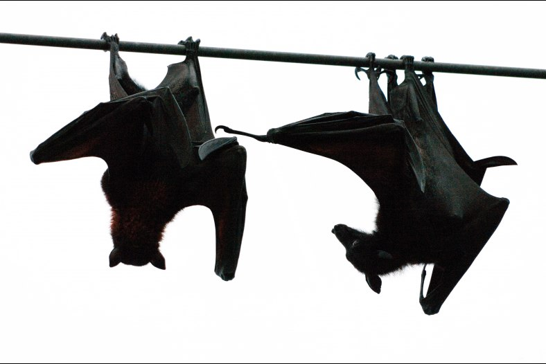 Flying foxes quarrelling over their roost III