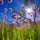 WA Wild Flowers