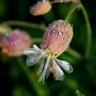 Flor no orvalho da manhã (Flower in the morning dew)