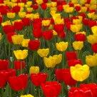 Wamego Tulips