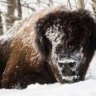 Wood Buffalo