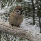 Eurasian Tree Sparrow (Passer montanus)