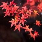 秋霞圃里的红叶