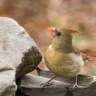 Northern Cardinal
