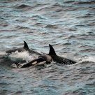 Orcas in Big Sur
