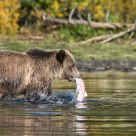 Interior Grizzly Bear with Spawned out Sockeye Salmon