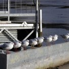 Seagulls in a row