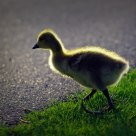Baby Goose