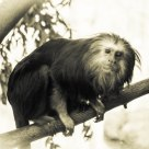 Golden-Headed Lion tamarin monkey