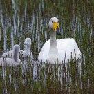 Nordic Swan family