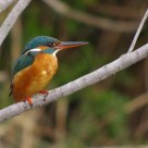 Martin Pescatore - Kingfisher 2