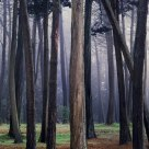 Cyprus Trees, Morning Fog, Presidio, San Francisco, CA c.1984