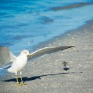 Seagull in Florida