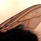Housefly wing .