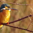 Martin Pescatore di Primo Mattino - First morning Kingfisher capture.