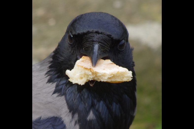 The Bread is MINE !!!!! Hooded Crow (Cornacchia Grigia)