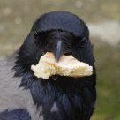 The Bread is MINE !!!!! Hooded Crow