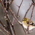 Goldfinch in the Snow.