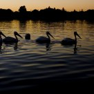 Pelicans on Lake Balboa