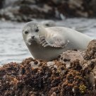 Demure Harbor Seal