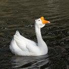 singing goose