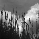 Bulrushes