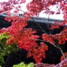 Japanese maple in rain