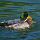 Brrr ! Germano Reale maschio in toletta - Mallard (Male) washing itself !