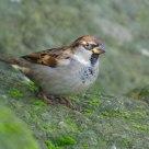 Passero Comune Maschio - House Sparrow Male