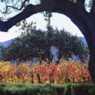 Oak Tree At The Vineyard