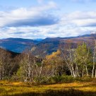 Birches in the autumn. The county of Sogn og Fjordane - Norway
