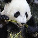 Giant Panda Crunching Bamboo