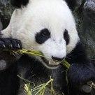 Giant Panda Crunching Bamboo