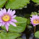 Fleur de Lotus 2