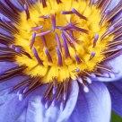 Fleur de Lotus 3