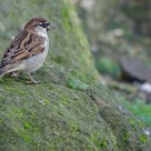 Passero Comune Maschio di guardia - House Sparrow Male guard