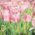 Tulip Hana
