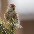 The Common Redpoll(Cardvelis flammea)
