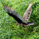 Turkey Vulture in Flight