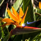 Bird of Paradise - Madeira's national flower