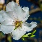 Flor de Almendro ... en enero