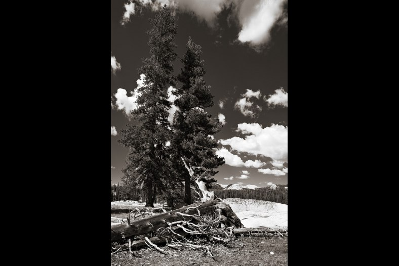 Trees in Tuolumne Meadows