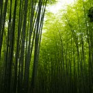 Sagano bamboo path
