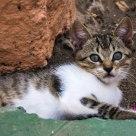 Gran Canarian Kitten