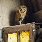 Owl in old Barn