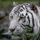 White tiger (cap)